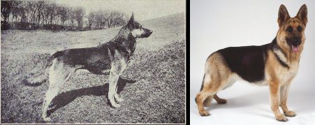 dog evolution, dog breeder, german shepherd dog, gsd, herding dog, k9 police dog, dog advice, dog help, dog advice, dog enthusiasts, canine guide, evolution of canines, dog breeds history
