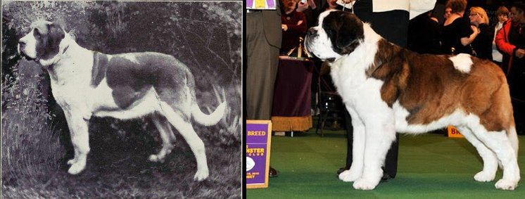 dog evolution, dog breeder, working dog, saint bernard, st benard, rescue dog, dog advice, dog help, dog advice, dog enthusiasts, canine guide, evolution of canines, dog breeds history