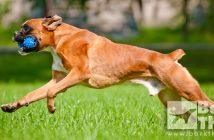 dog exercises, exercises for breed types, dog types mental exercises, physical exercises dog health, teach dog how to fetch, dog sports, boxer schutzhund, guard dog, best activities for dog breeds, dog training exercises