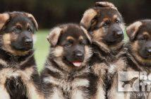 barkthink, dog immune system, linebreeding, inbreeding dogs, dog genetics, dog pedigree, how does dog genetics dna work, dog tips, dog breeders help and advice, dog science