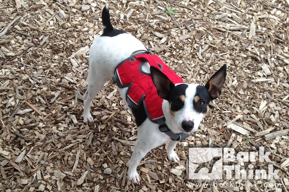 ruffwear webmaster dog harness review, rat terrier, best dog harness, dog harness for walking, best puppy dog products, what to get for my new puppy, puppy training, best dog toys for puppies, toys for teething puppies, dog chew toys, best treats for dogs and puppies, minneapolis st paul dog advice, dog tips for twin cities area, petcare dog information