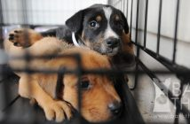 The truth about dogs from responsible breeders and dog shelter rescues.