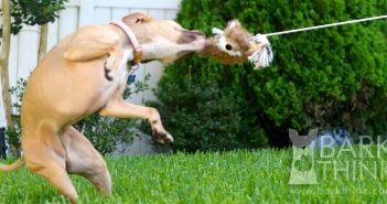 Benefits of Flirt Pole Toy Exercise for Dogs